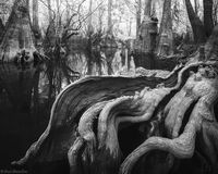 Sinuous Cypress print