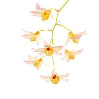 Dendrobium moschatum print