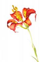 Catesby's (Pine) Lily print