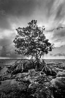 Mangrove in Monochrome print