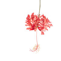 Red Hibiscus print