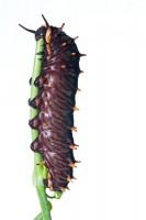 Polydamas Butterfly Caterpillar print