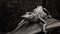 BW Alligator Study print