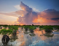 Summer Storm and Red Mangroves print
