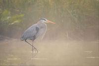 Foggy Blue Heron print