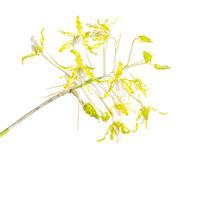 Schomburkia yellow print