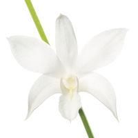 White Dendrobium Hybrid print