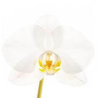Phalaenopsis Hybrid White print