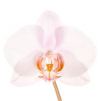Phalaenopsis Hybrid Pink print