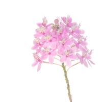 Epidendrum Hybrid Pink print