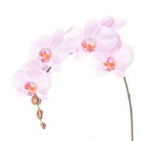 Pink Phalaenopsis Spike 1 print