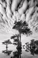 Blue Cypress B&W print