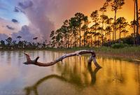 Pine Sunset print