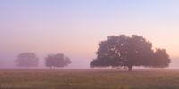 Morning Fog and Oaks print