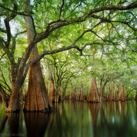 Cypress Sanctuary print