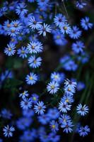 Blue Stars print