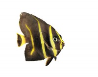 Grey Angelfish (juvenile) print