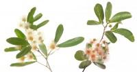 Blackbead (Pithecellobium keyense) print