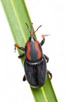 Palmetto Weevil (Rhynchophorus cruentatu print