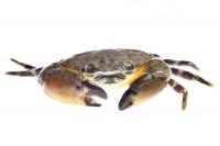 Florida Stone Crab  print