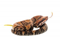 Water Moccasin  print