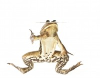 Pig Frog print