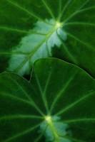 Colocasia Twins print