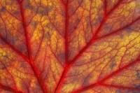 Backlit Begonia print