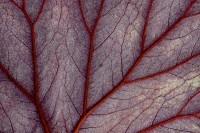 Begonia Veins print