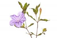 Thickleaf Wild Petunia print