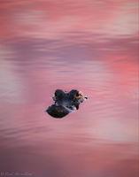 Gator in Pink print