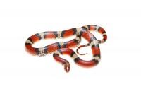 Scarlet Snake print