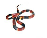 Coral Snake print