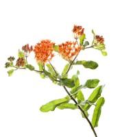 Butterflyweed  print