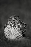 Burrowing Owl print