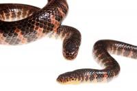 Eastern Mud Snake print