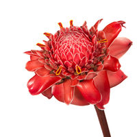 Torch Ginger print