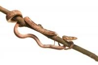 Yellow Rat Snake (juvenile) print