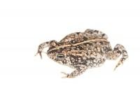 Oak Toad print