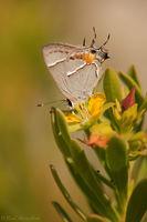 Martial Scrub Hairstreak Butterfly print