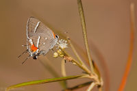 Bartram's Hairstreak Butterfly print