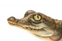 American Crocodile (hatchling) portrait print