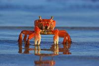 American Land Crab print