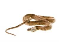 Brown Water Snake  print