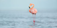 American Flamingo Panoramic print