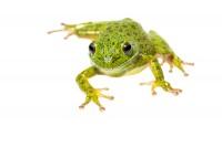 Barking Treefrog print