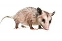 Virginia Opossum print