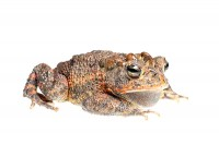 Southern Toad  print
