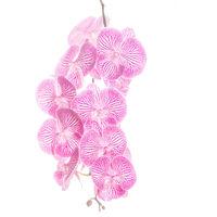Peloric Phalaenopsis 2 print