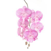 Peloric Phalaenopsis 1 print
